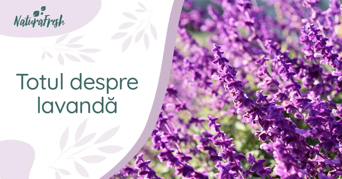 Totul despre Lavandă 5 beneficii și moduri de folosire - NaturaFresh - Lavanda