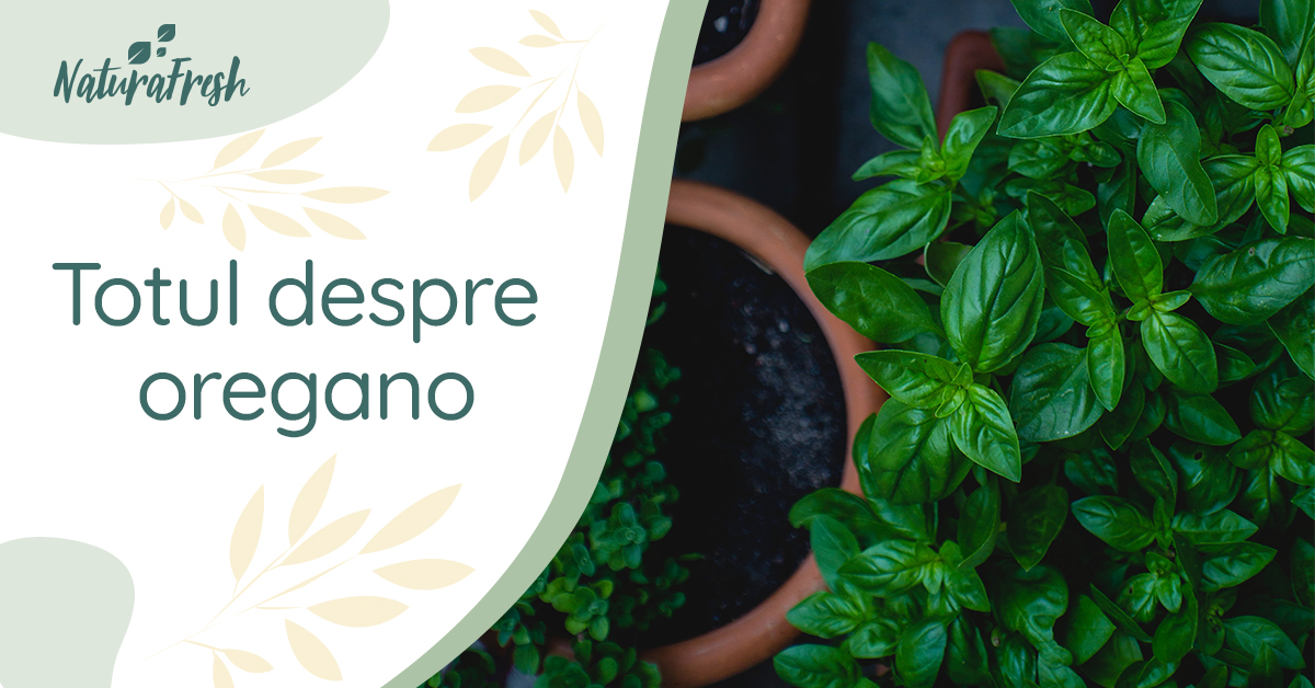 Totul despre Oregano 10 proprietăți și beneficii - NaturaFresh - Oregano